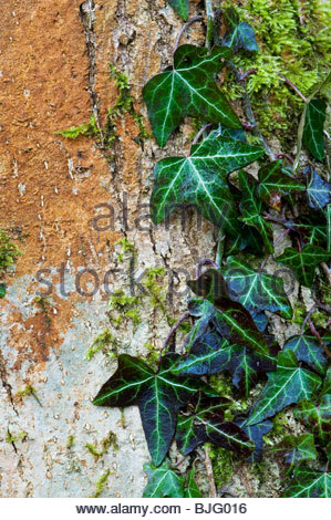 Hedera helix. Common Ivy growing up a tree trunk in the English countryside. UK - Stock Photo