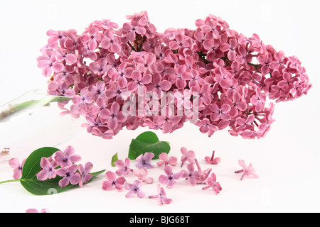 Lilac with leaves - Stock Photo