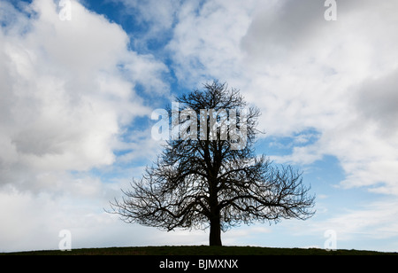 Winter Horse Chestnut Tree in the English countryside - Stockfoto