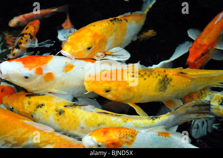 Golden koi fish in a pond with fresh water and stream at for Golden ornamental pond fish crossword
