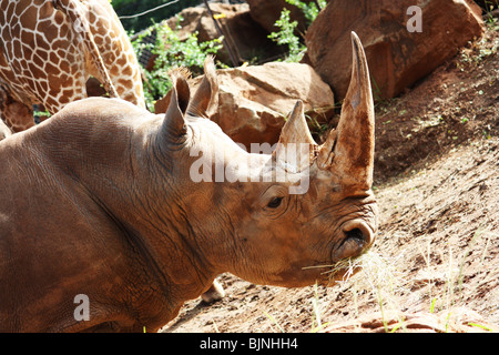 CLOSE UP SIDE VIEW  OF WHITE RHINOCEROS HORIZONTAL BDB - Stock Photo