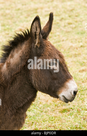 Close up of a donkey's head in portrait format - Stock Photo