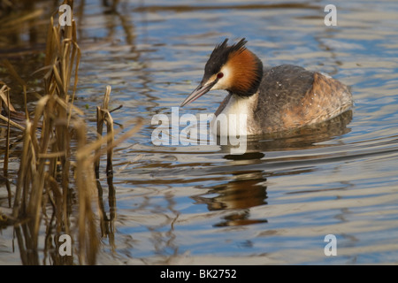 Great Crested Grebe (Podiceps cristatus) swimming on the edge of a reedbed - Stock Photo