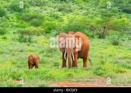Family of elephants in the woods. Kenya. Samburu national park. - Stock Photo