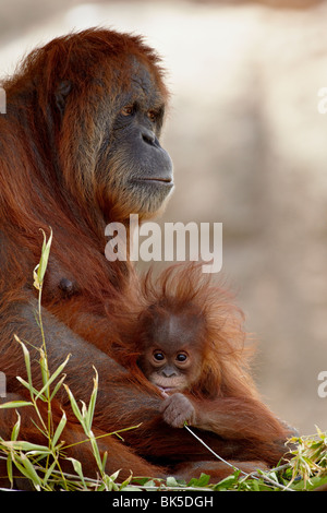 Orangutan and 6-month old baby in captivity, Rio Grande Zoo, Albuquerque, New Mexico, USA - Stock Photo