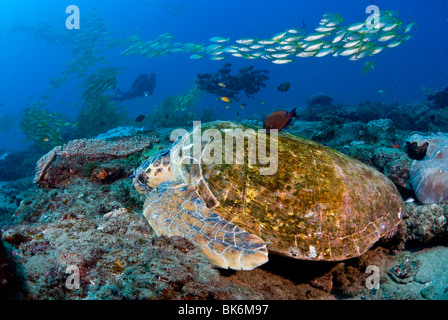 Loggerhead sea turtle, school of french grunts and scuba diver, South Africa, Indian Ocean - Stock Photo