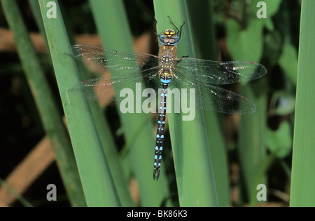 Migrant Hawker (Aeshna mixta) sunbathing - Stock Photo