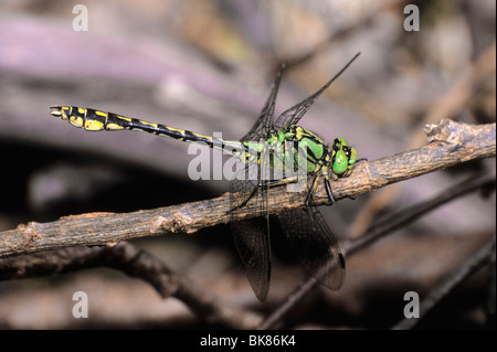 Green Club-tailed Dragonfly Snaketail (Ophiogomphus serpentinus) sunbathing - Stock Photo