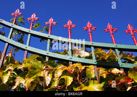 Boston Ivy (Parthenocissus tricuspidata), autumnal, climbing an old wrought-iron garden fence - Stock Photo