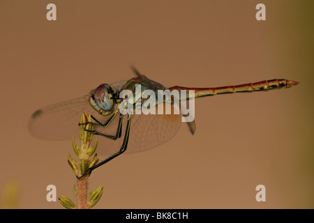 Caption from Corsica, dragonfly caught sunbathing at the pick of pine outside summer residence. - Stock Photo