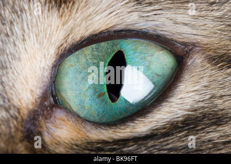 Cat Eye Macro. A close up of a cat's eye showing the vertical pupil and beautiful green iris. - Stock Photo