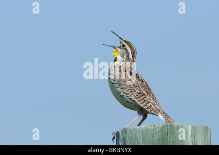 Western Meadowlark (Sturnella neglecta) perched on a wooden post while singing. - Stock Photo