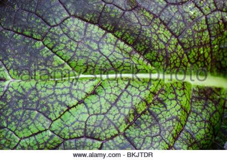 Brassica juncea 'red giant'. Chinese mustard 'Red Giant'  vegetable leaf close up - Stock Photo