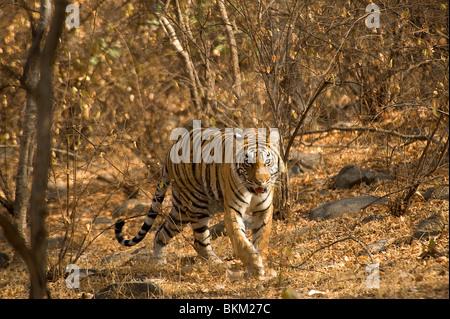 Male Bengal tiger, Panthera tigris, walking through scrub, Ranthambore N P, India - Stock Photo