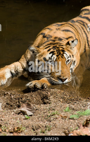 Bengal tiger relaxing by cooling off in water Kanha NP, India - Stock Photo