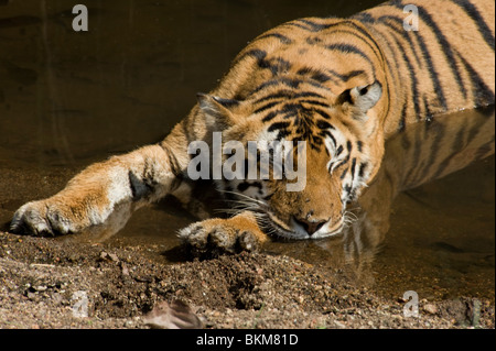 Bengal tiger relaxing and snoozing by cooling off in water Kanha NP, India - Stock Photo