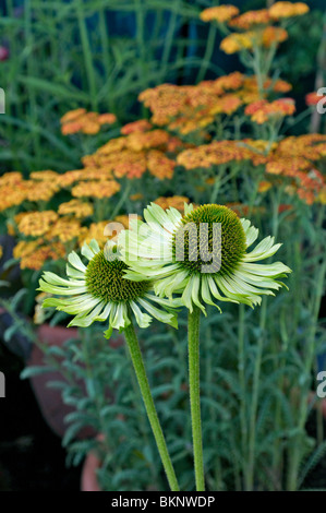 echinacea 39 green envy 39 stock photo royalty free image. Black Bedroom Furniture Sets. Home Design Ideas
