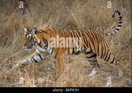 Female Bengal tiger, Panthera tigris, walking thro dry grass Ranthambore NP, India - Stock Photo
