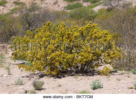 creosote bush stock photo royalty free image 29244026