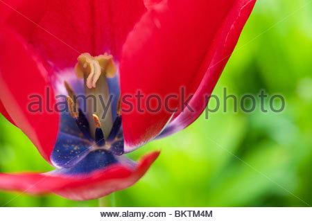 Tulipa, red tulip flower abstract - Stock Photo