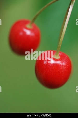 Pair of cherries - Stock Photo