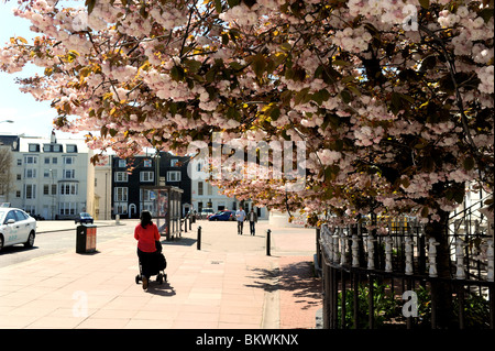 Cherry blossom in full bloom in Brighton city centre at spring time UK - Stock Photo