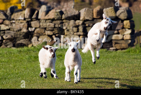 Playful Jumping Blackface Lamb - Stock Photo