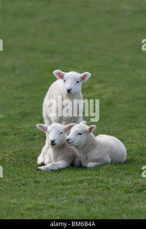 Spring Lambs playing in meadow at Easter time - Stock Photo