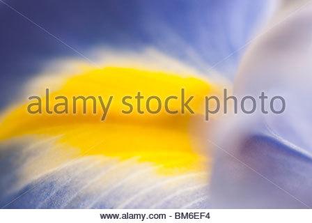 Close up of purple iris - Stockfoto