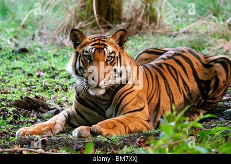 The Royal Bengal Tiger (Panthera tigris tigris), Bandhavgarh National Park, Madhya Pradesh, India, Asia - Stock Photo