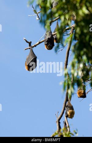 Grey-headed Flying Fox, Pteropus poliocephalus Botanical Gardens Sydney Australia - Stock Photo
