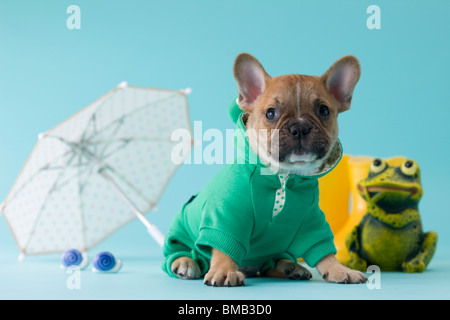 French Bulldog Puppy and Rainy Season - Stock Photo