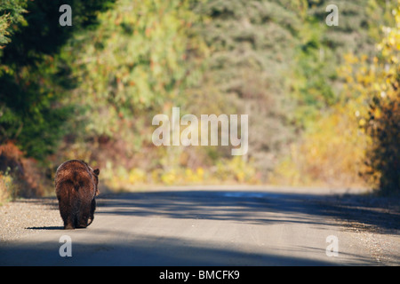 A grizzly bear walks nonchalantly down a forestry logging road in British Columbia, Canada - Stock Photo