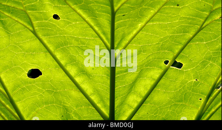 Rhubarb leaves. - Stock Photo