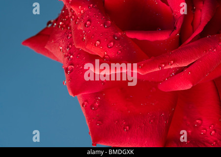 Water Droplets on Red Rose with Blue Background. - Stock Photo