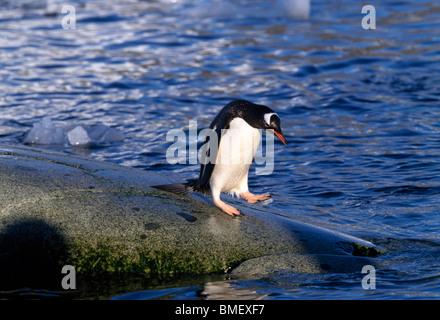 Gentoo penguin, Peterman Island, Antarctica - Stock Photo
