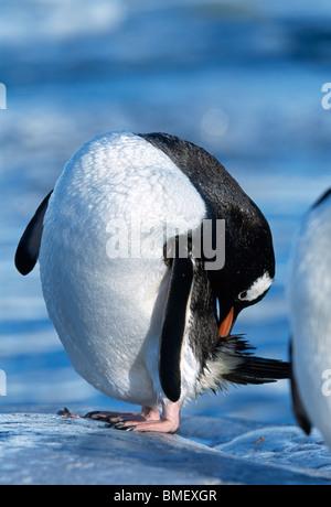 Gentoo penguin preening, Peterman Island, Antarctica - Stock Photo