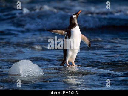 Gentoo penguin shaking off water, Peterman Island, Antarctica - Stock Photo
