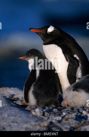 Gentoo penguin with chick, Peterman Island, Antarctica - Stock Photo