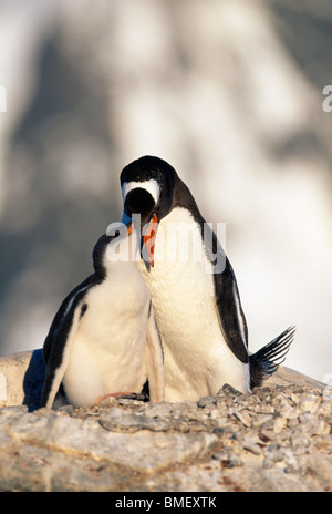 Gentoo penguin feeding chick, Peterman Island, Antarctica - Stock Photo