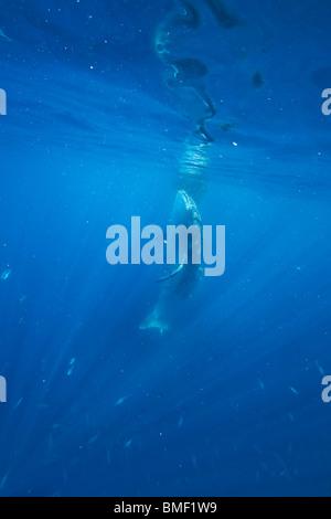 Whale Shark, Honda Bay, Palawan, The Philippines - Stock Photo