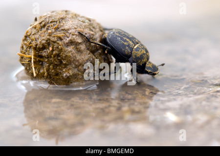 Dung Beetle - Los Novios Ranch - near Cotulla, Texas USA - Stock Photo