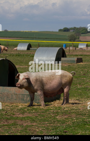 Duroc Piglet being bred for Marks & Spencers, under supervised conditions, Arbroath, Scotland, UK - Stock Photo