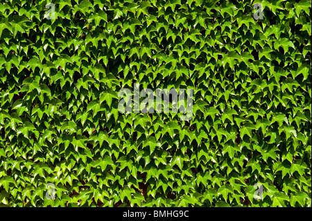 Boston Ivy. - Stock Photo