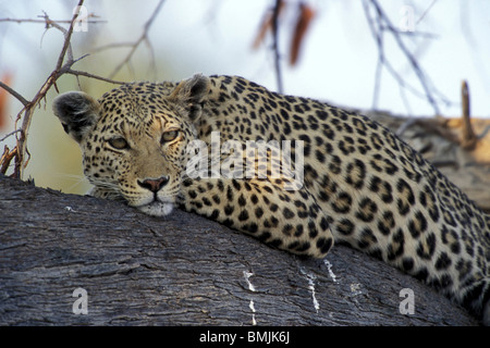 Botswana, Moremi Game Reserve, Adult Female Leopard (Panthera pardus) lit by setting sun while resting on tree limb - Stock Photo