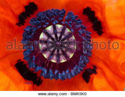 Papaver Orientale. Close up on middle of poppy flower - Stock Photo