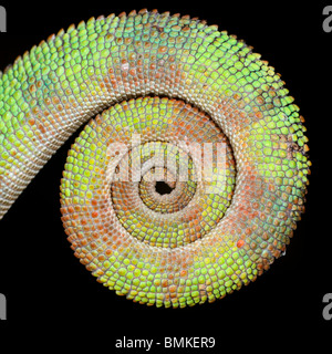 Curled tail of male Panther Chameleon. From Masoala National Park, north east Madagascar. - Stock Photo