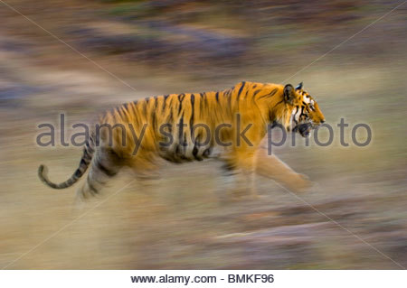 Male Bengal Tiger - Sundar (B2) running and patrolling territory. Bandhavgarh National Park, Madhya Pradesh, India. - Stock Photo