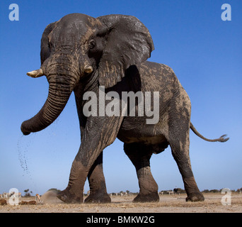 Low angle elephant, Etosha Pan, Namibia - Stock Photo