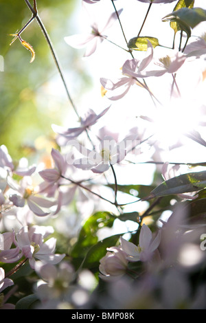 Clematis flowers blooming in spring - Stock Photo